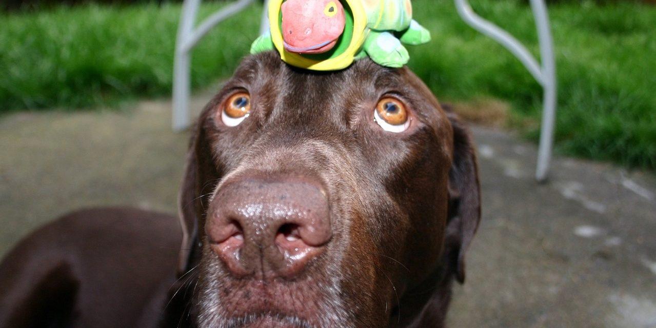 https://dlaignite.com/wp-content/uploads/2019/01/chocolate-labrador-with-turtle-1409107-1279x853-1-1279x640.jpg